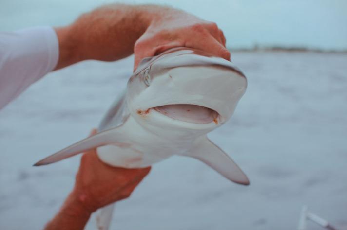 shark-9